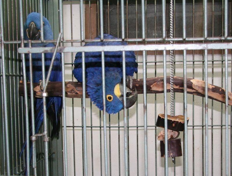 Sweet quaker parrot blue quaker parrots stick