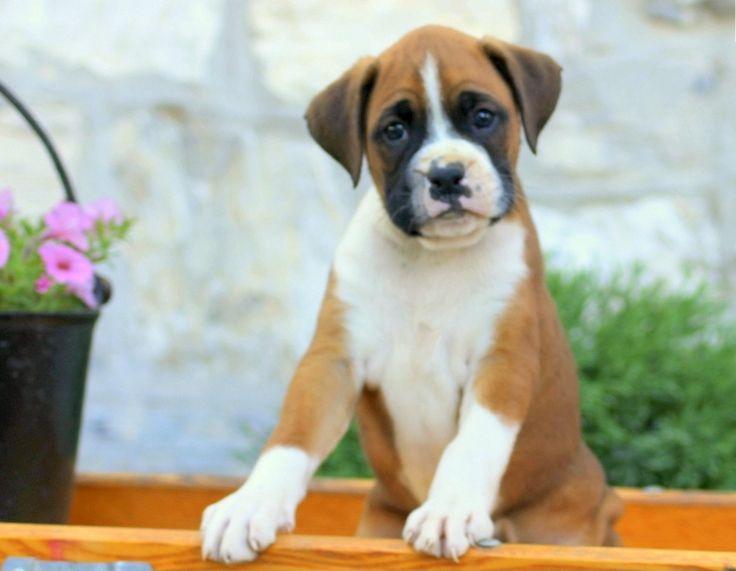 Boxer Puppies For Sale Central Avenue Nj
