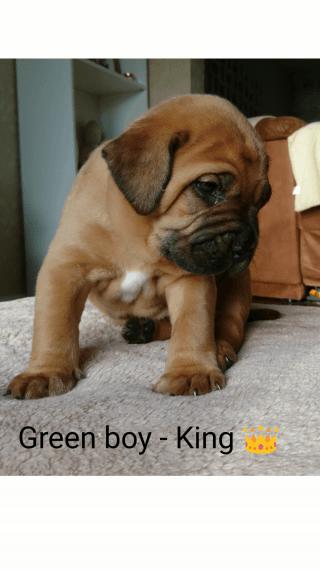 Dogue De Bordeaux Puppies For Sale New York Ny