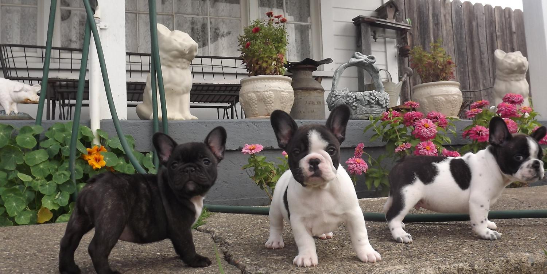 Teacup french bulldog size