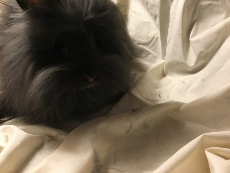 Angora Rabbit Rabbits Sale Statesville Nc 6376