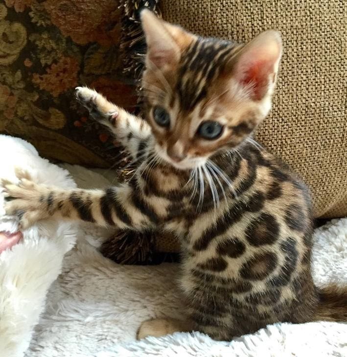 Bengal Cats For Sale In Philadelphia