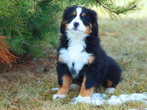 Bernese Mountain Dog Sale United States Hooblyus