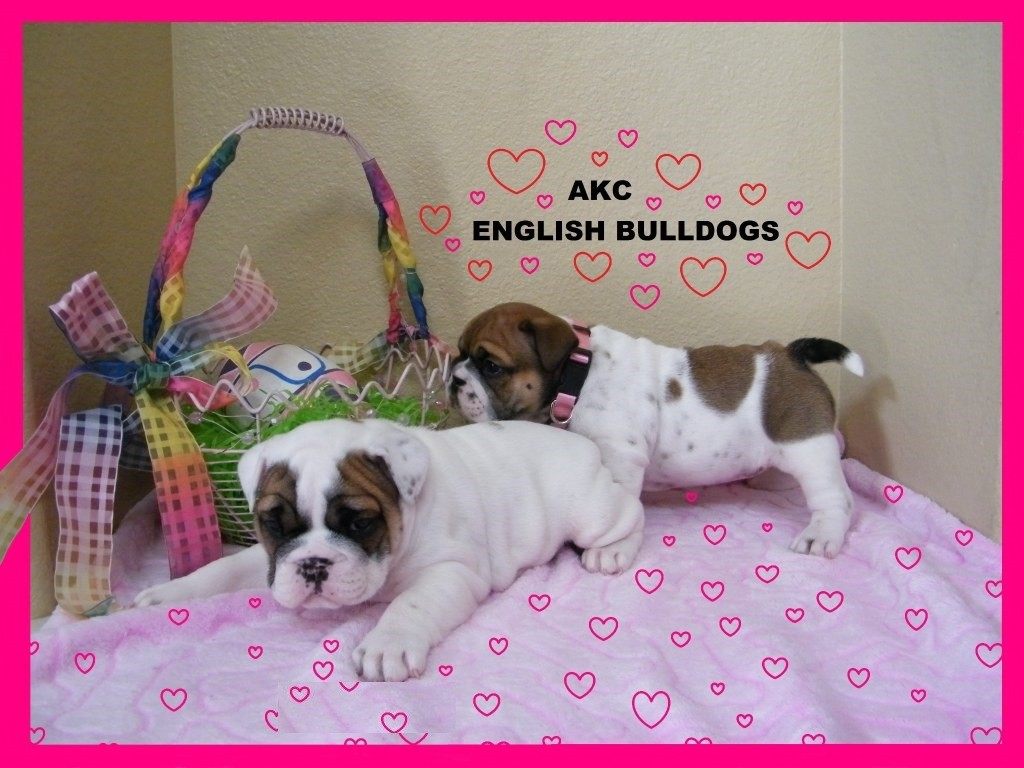 english bulldog puppies for sale without papers English bulldog puppies for sale comes with a three generational certificate from akc along with the registration papers sweet english bulldog puppies.