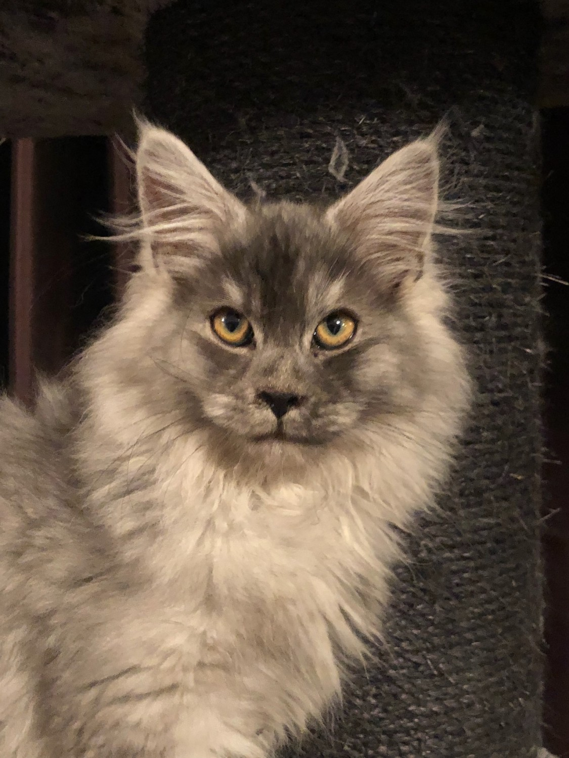 Maine coon cat breeders wisconsin