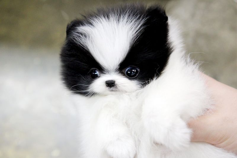 Pomeranian puppies for sale brisbane qld
