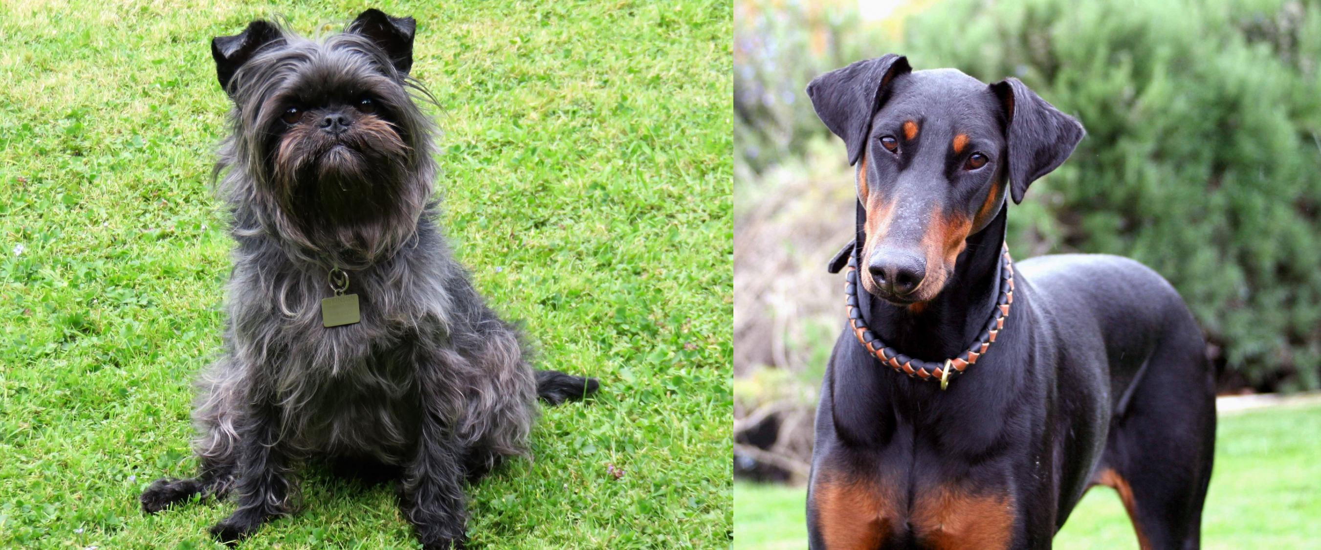 Affenpinscher vs Doberman Pinscher - Breed Comparison