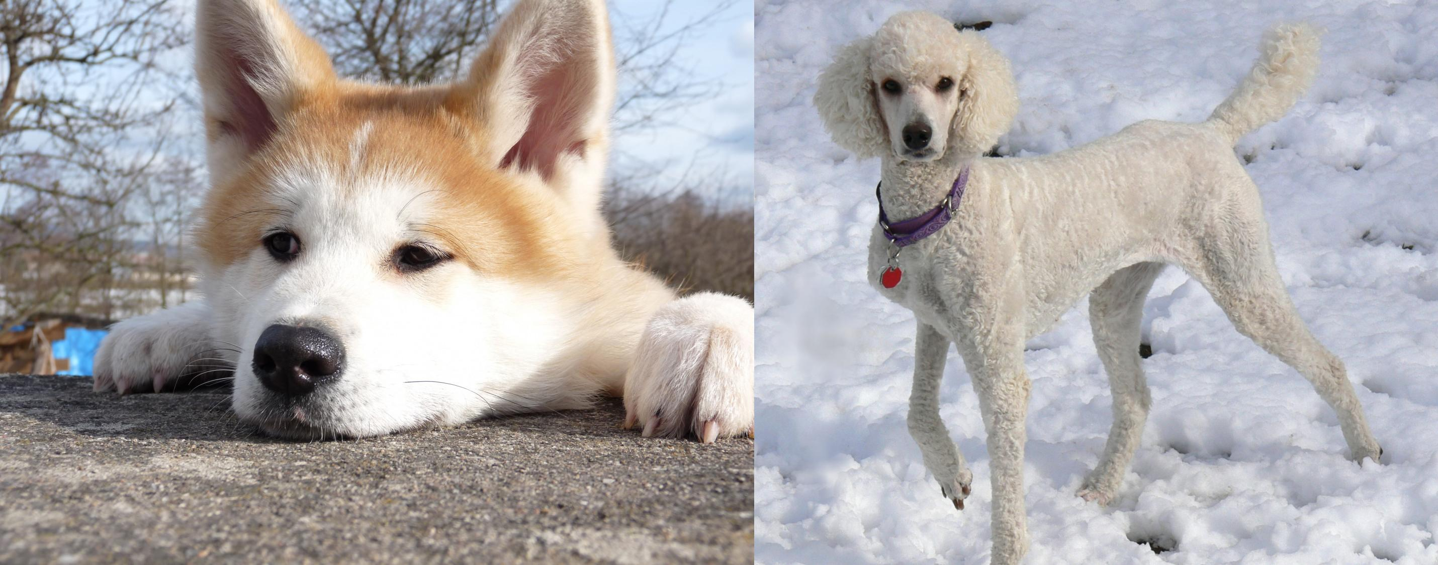 Akita Vs Poodle Breed Comparison Mydogbreeds
