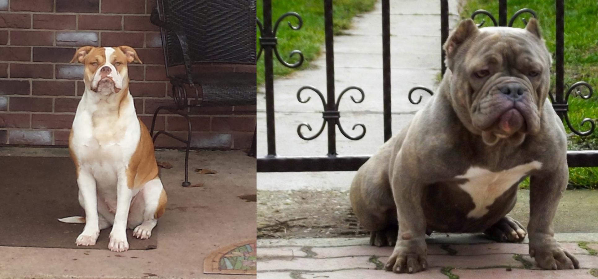 Alapaha Blue Blood Bulldog vs American Bully - Breed Comparison