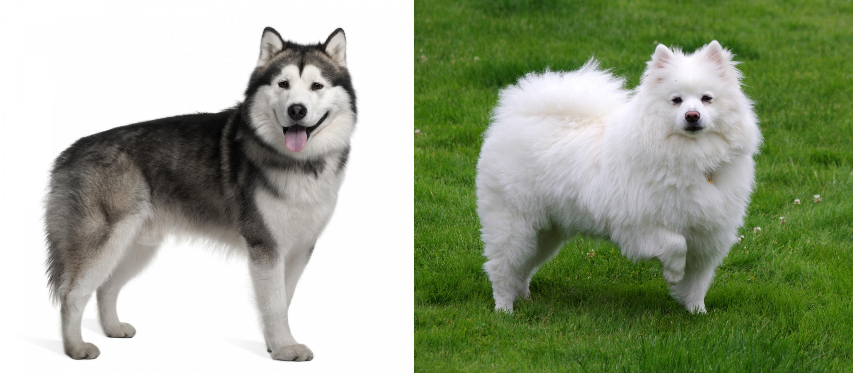 Alaskan Malamute Vs American Eskimo Dog
