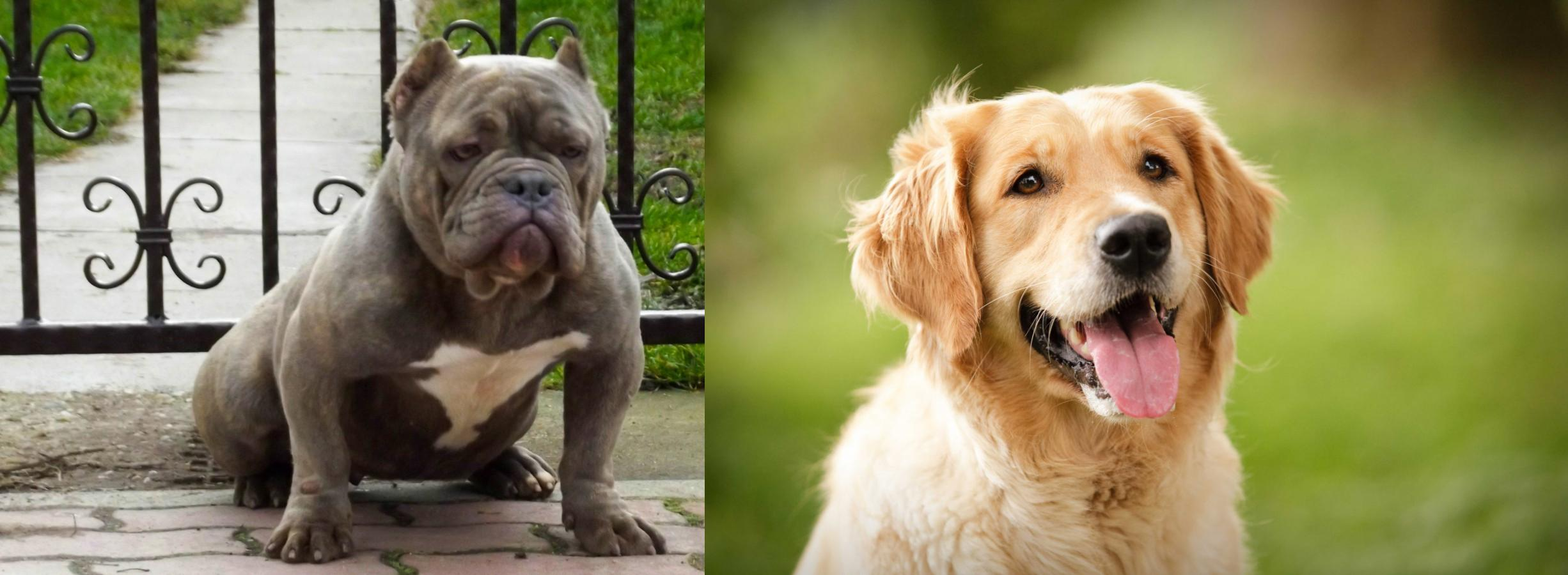 American Bully vs Golden Retriever - Breed Comparison
