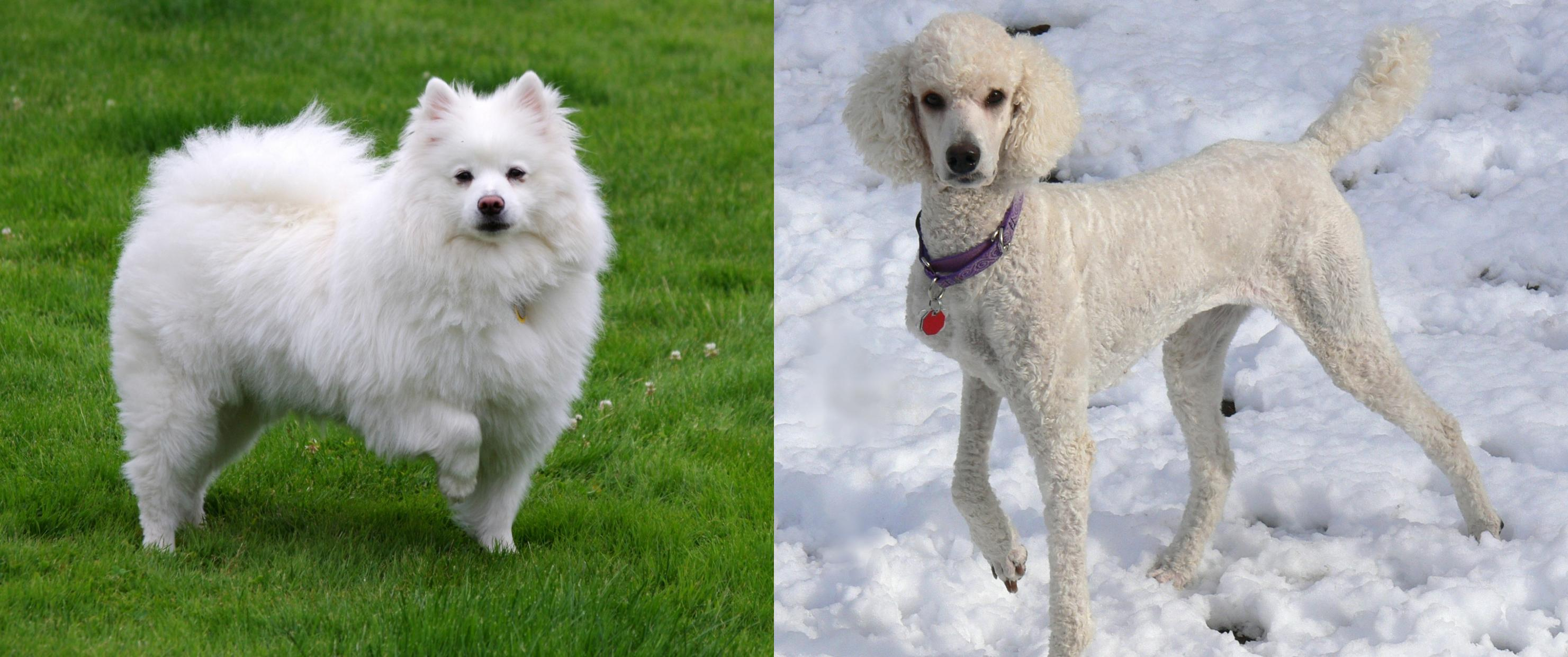 American Eskimo Dog Vs Poodle Breed
