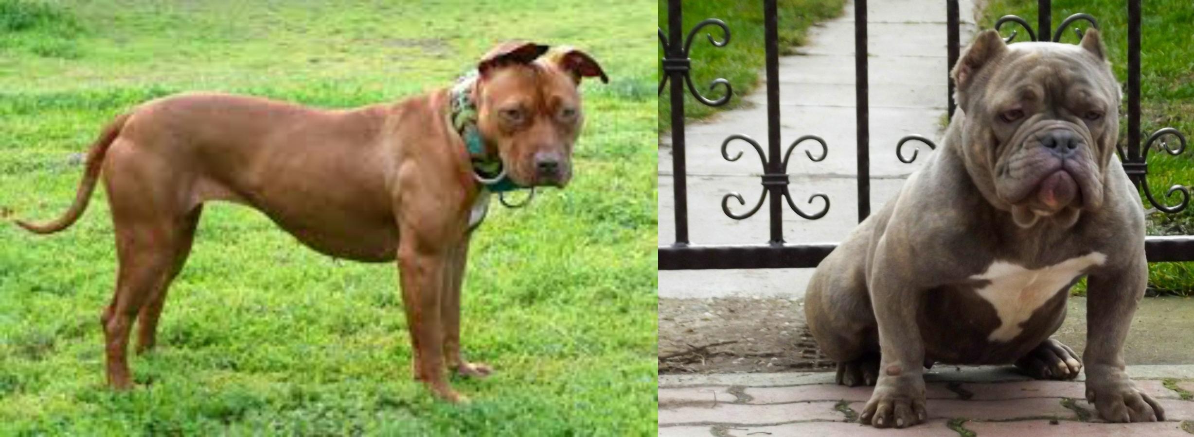 American Pit Bull Terrier Vs