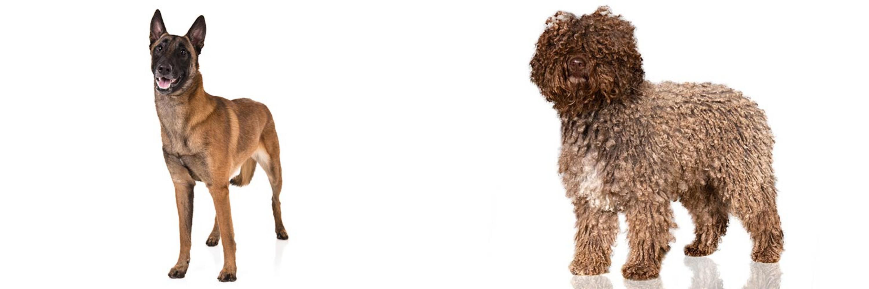 Spanish Water Dog vs Belgian Shepherd Dog (Malinois ...