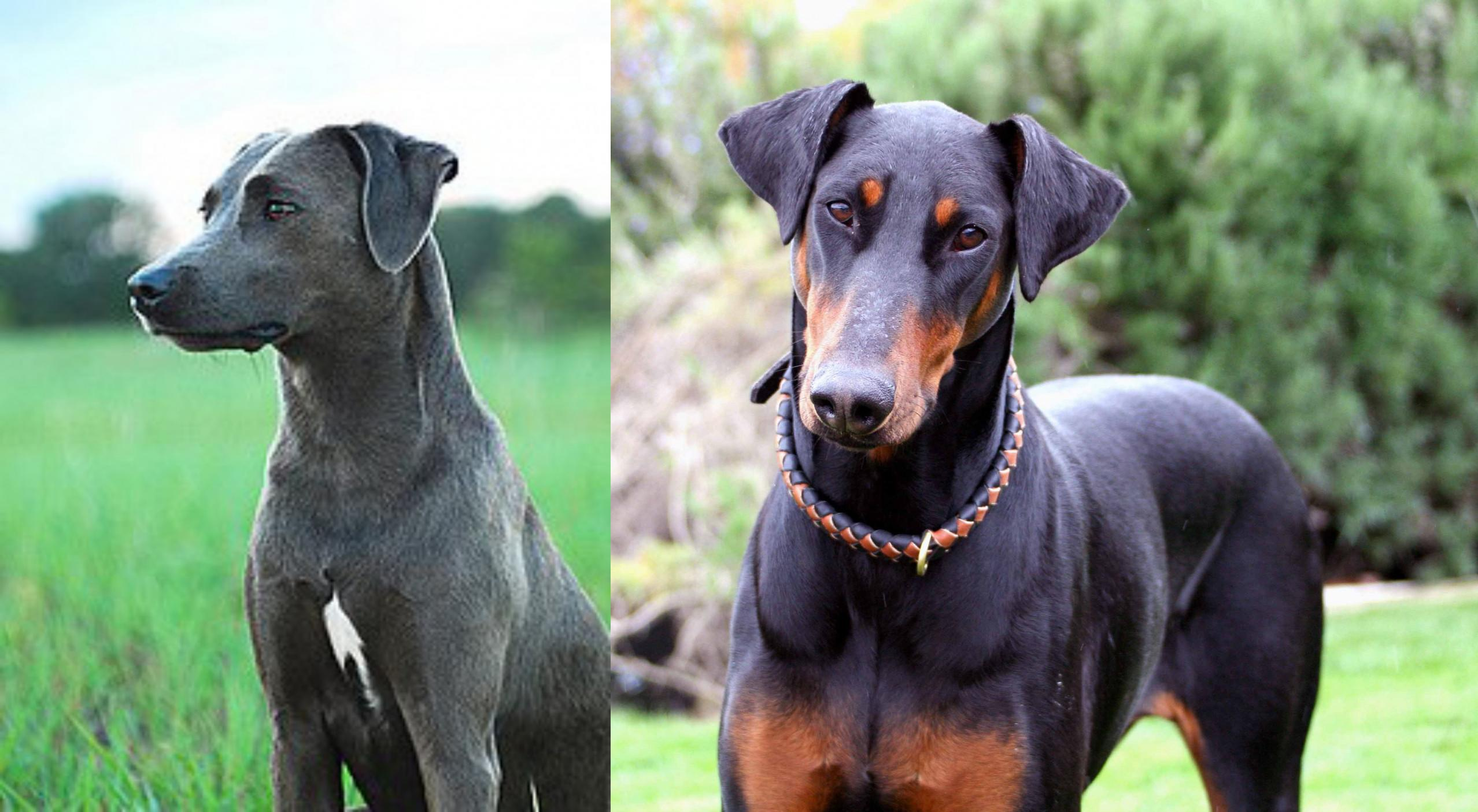 Blue Lacy Vs Doberman Pinscher Breed