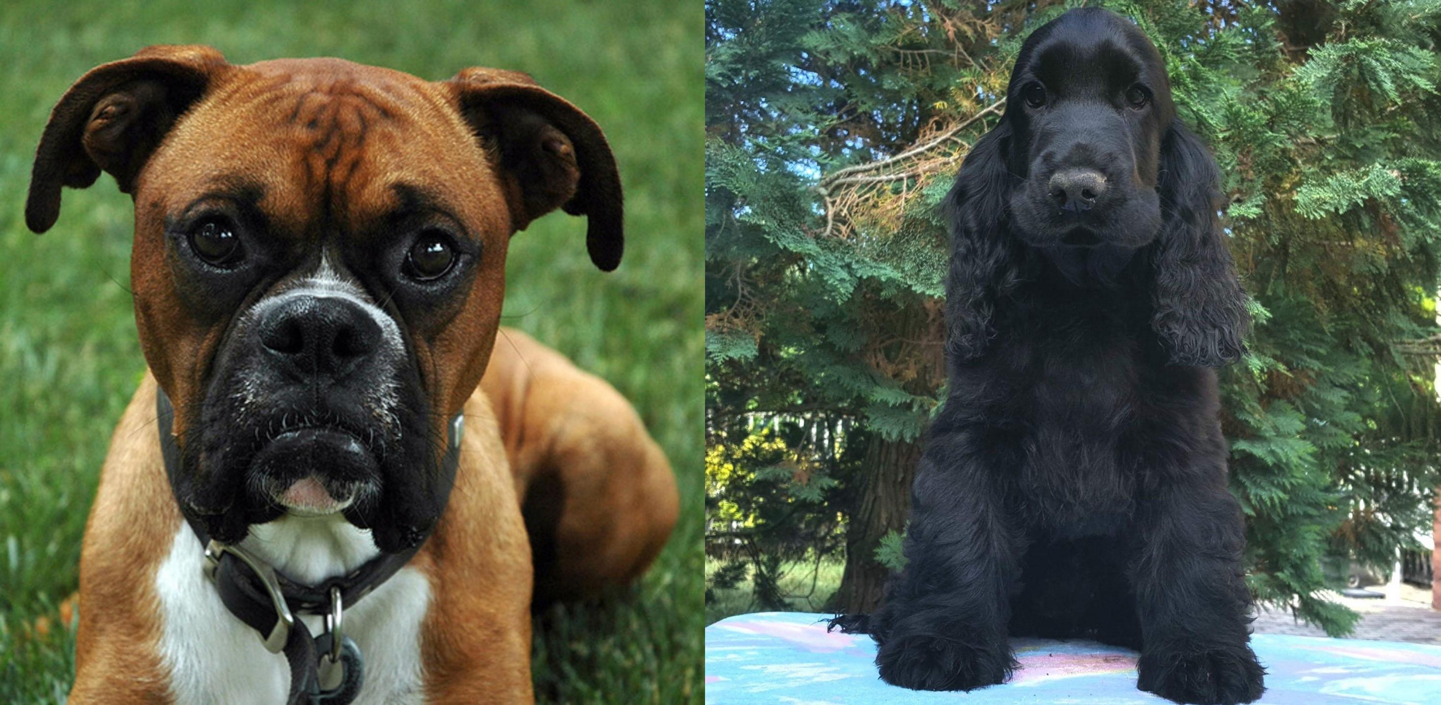 american cocker spaniel vs boxer breed comparison mydogbreeds