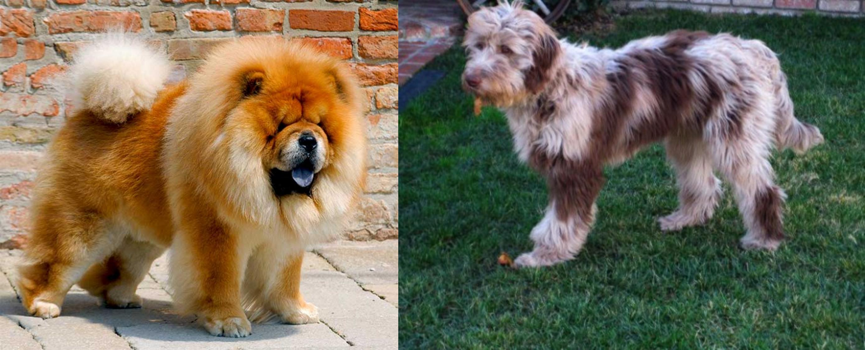 Chow Chow vs Aussie Doodles - Breed