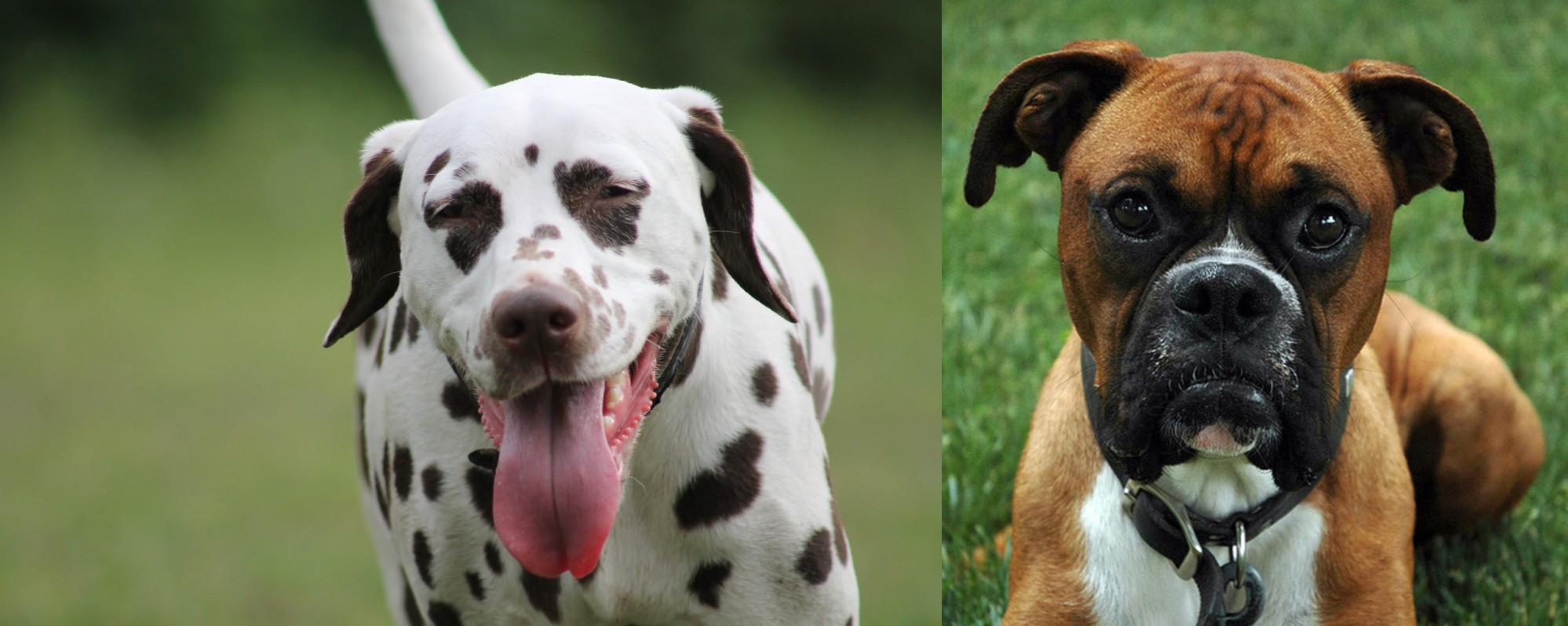 Dalmatian Vs Boxer Breed Comparison