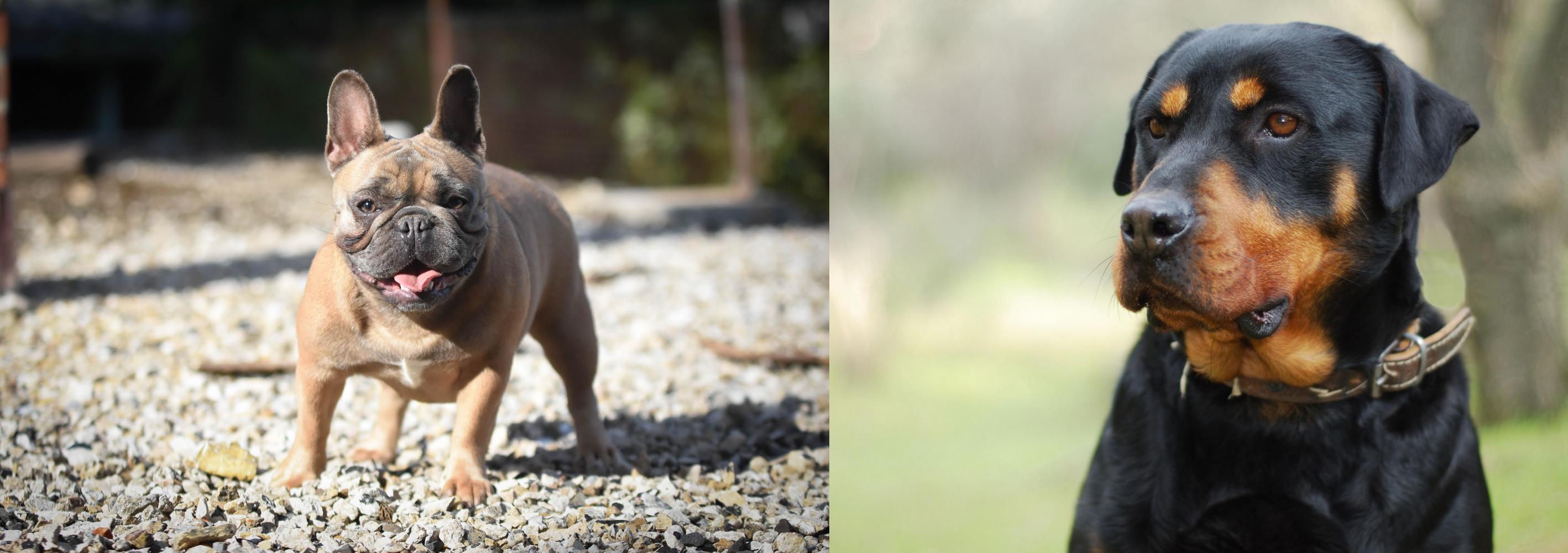 Rottweiler Vs French Bulldog Breed Comparison Mydogbreeds