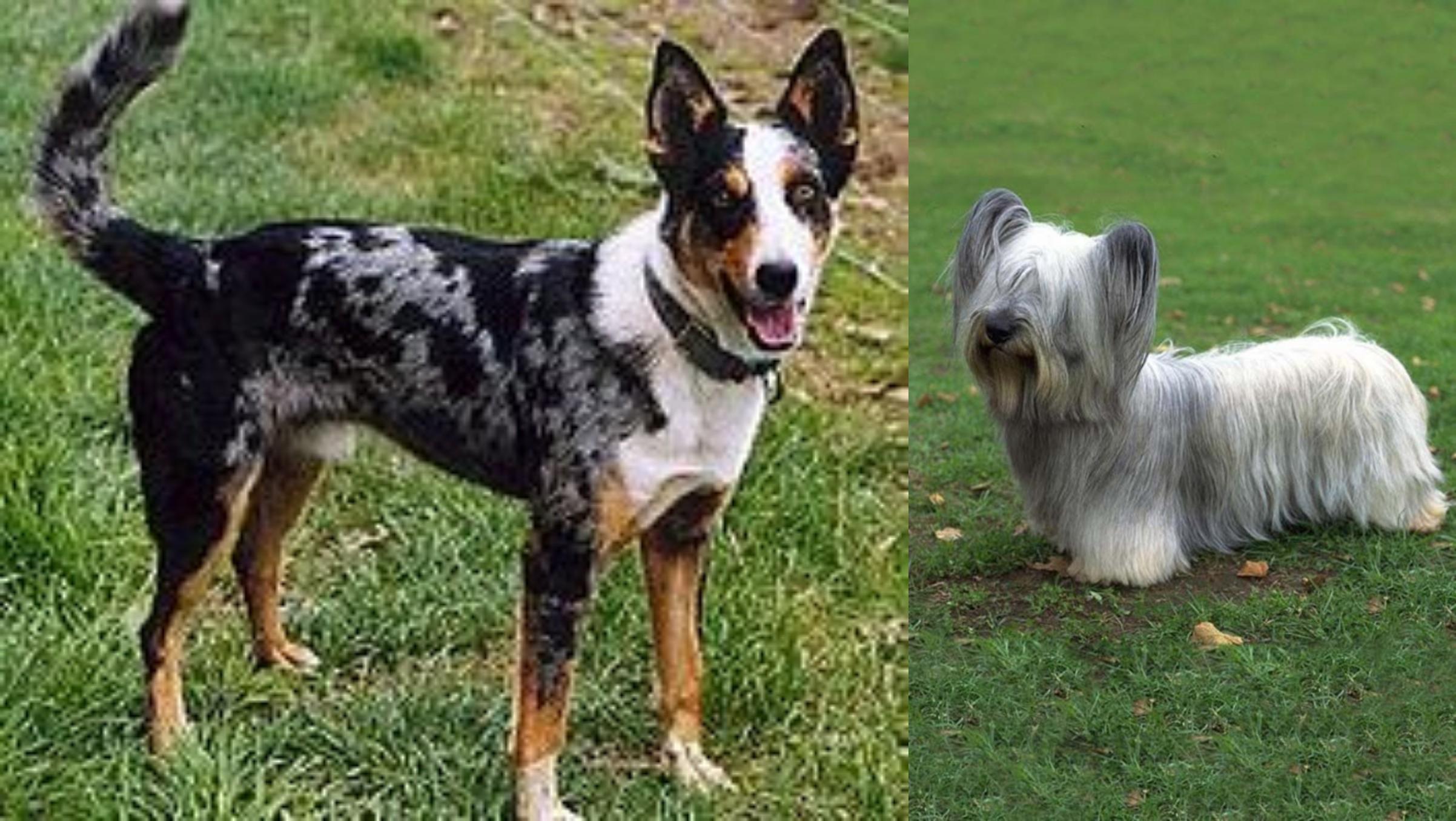 Skye Terrier vs German Coolie - Breed Comparison   Petzlover
