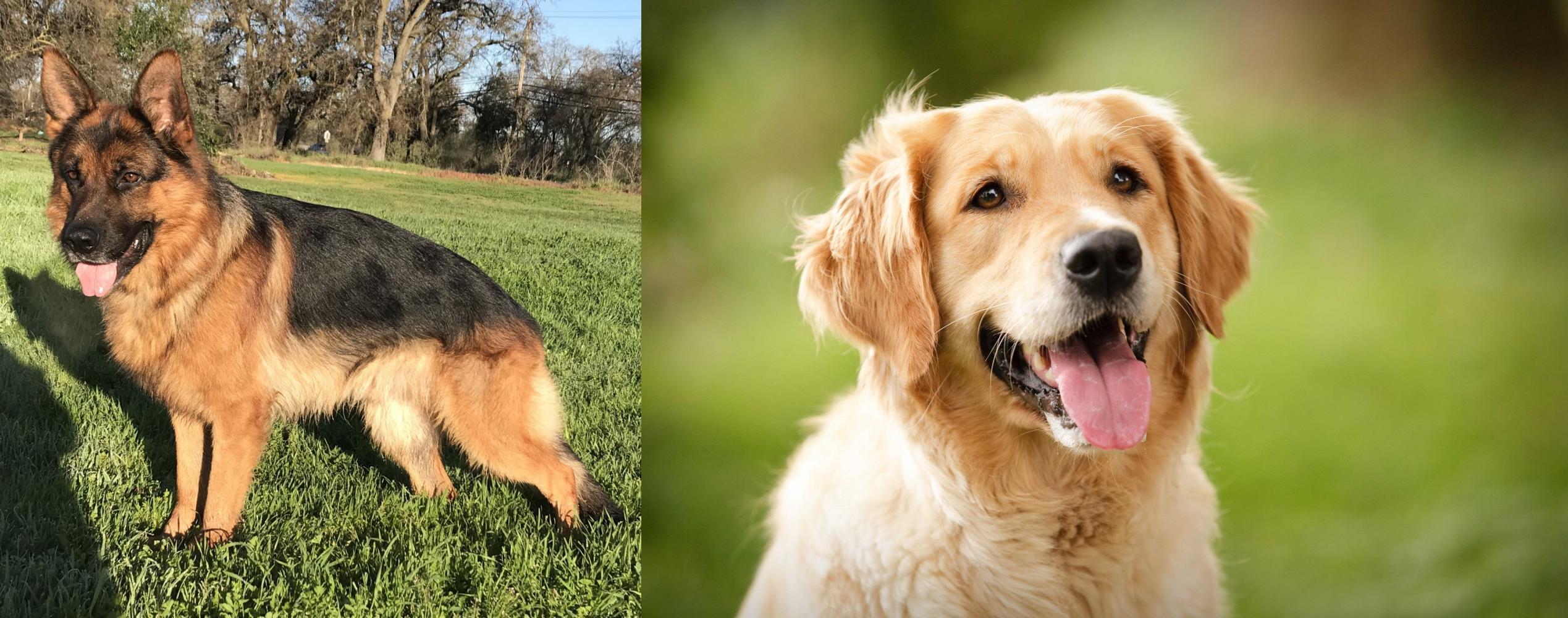 Golden Retriever Vs German Shepherd Breed Comparison Mydogbreeds