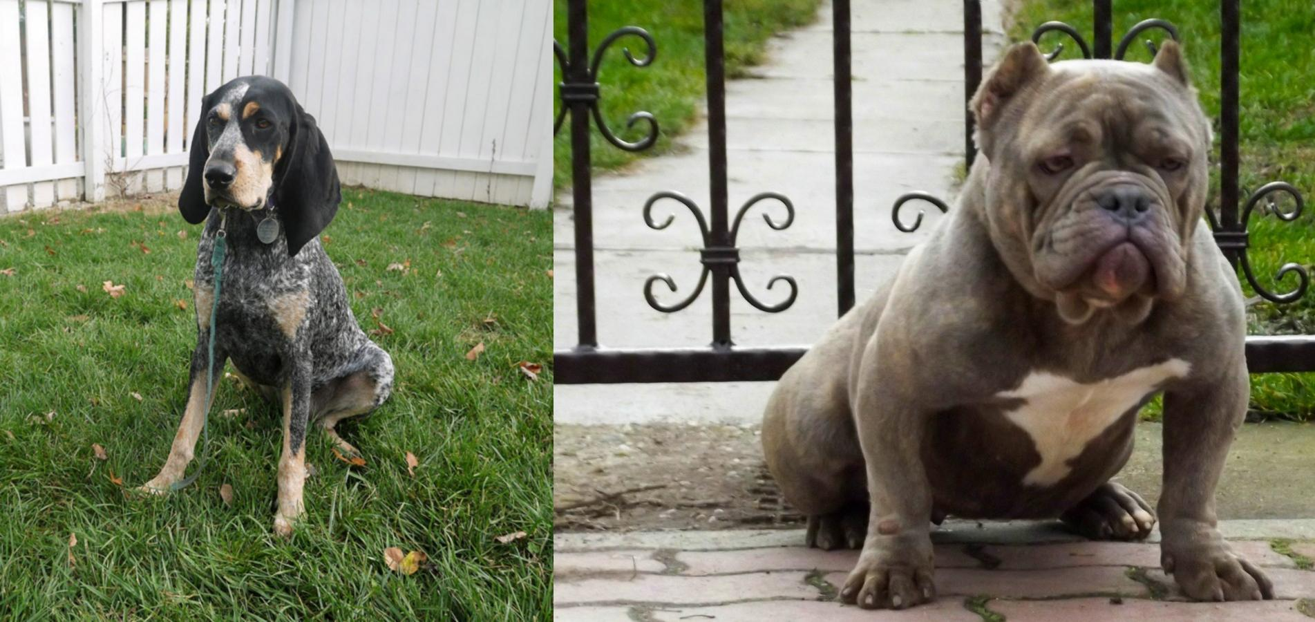 Grand Bleu De Gascogne Vs American Bully Breed Comparison