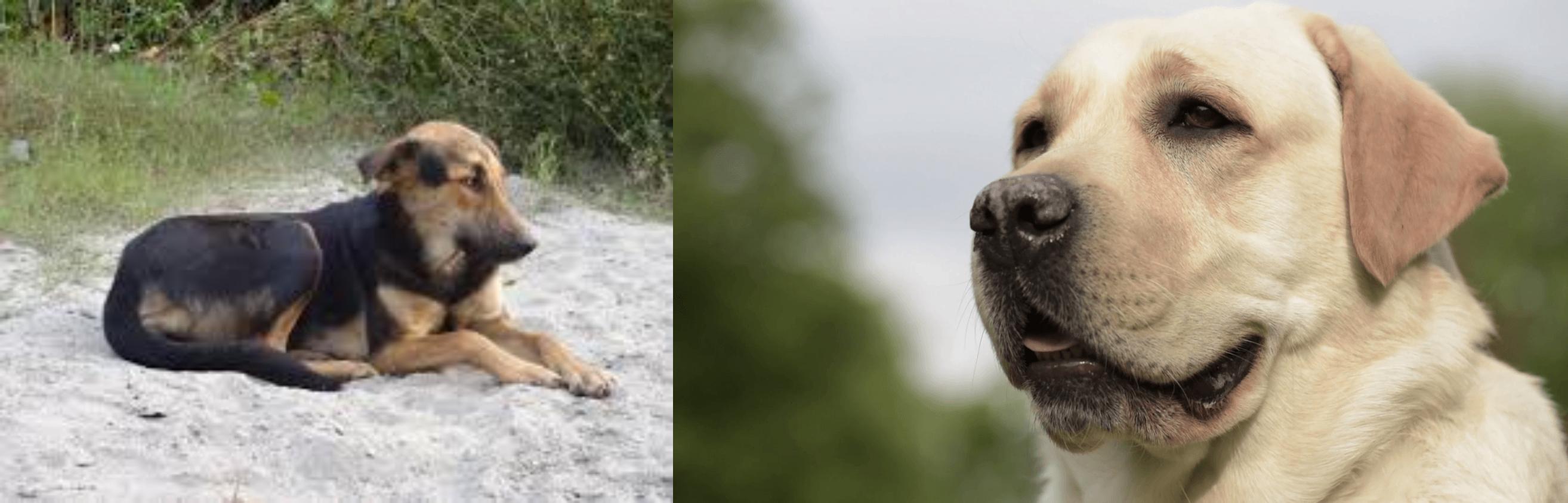 Indian Pariah Dog Vs Labrador Retriever Breed Comparison