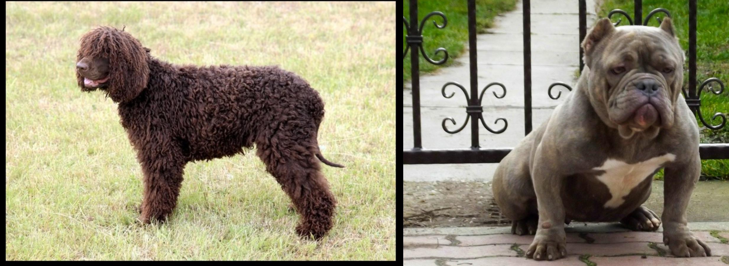 Irish Water Spaniel vs American Bully - Breed Comparison