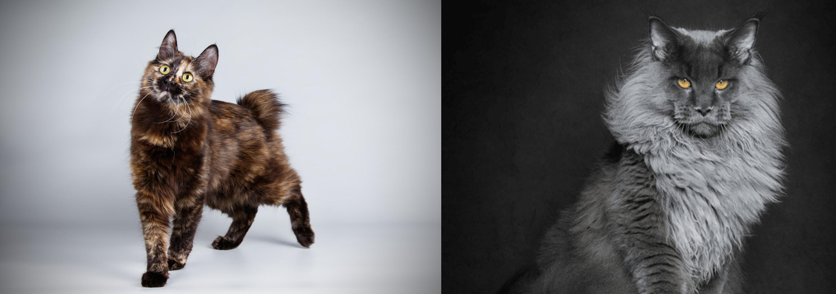 Maine Coon vs Japanese Bobtail - Breed Comparison