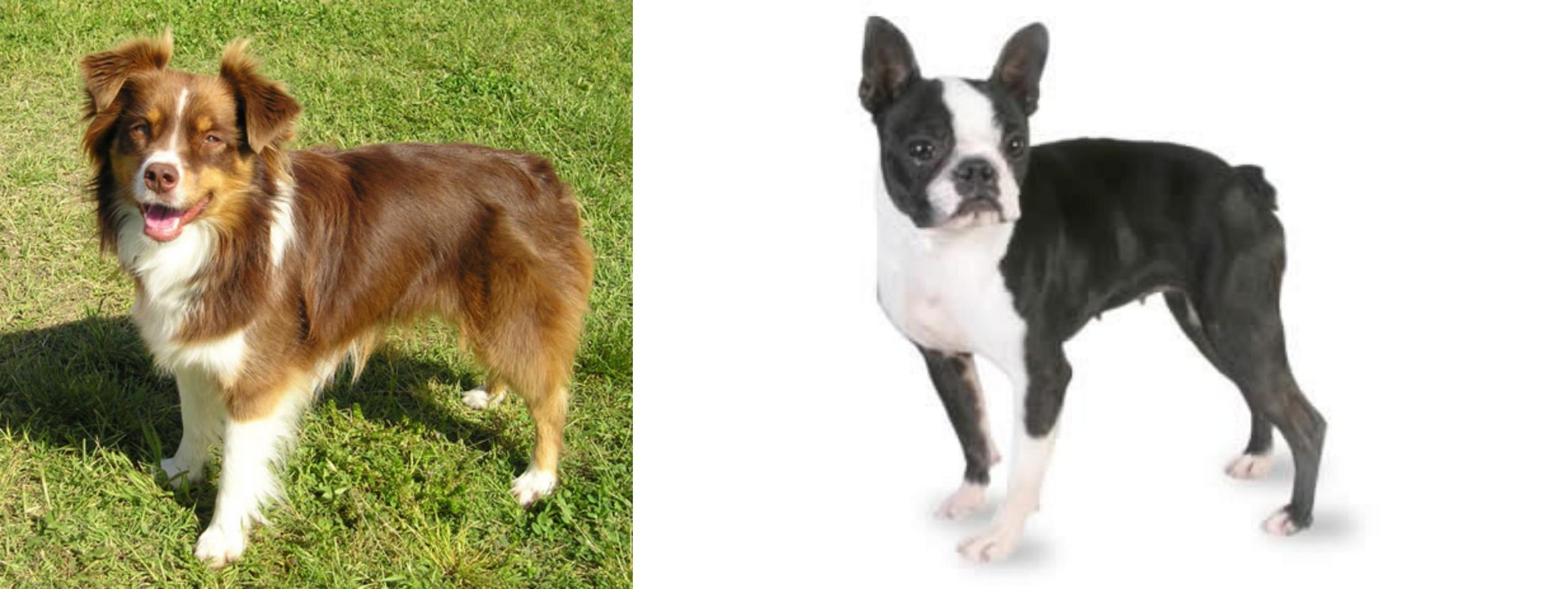 Miniature Australian Shepherd vs Boston Terrier - Breed ...