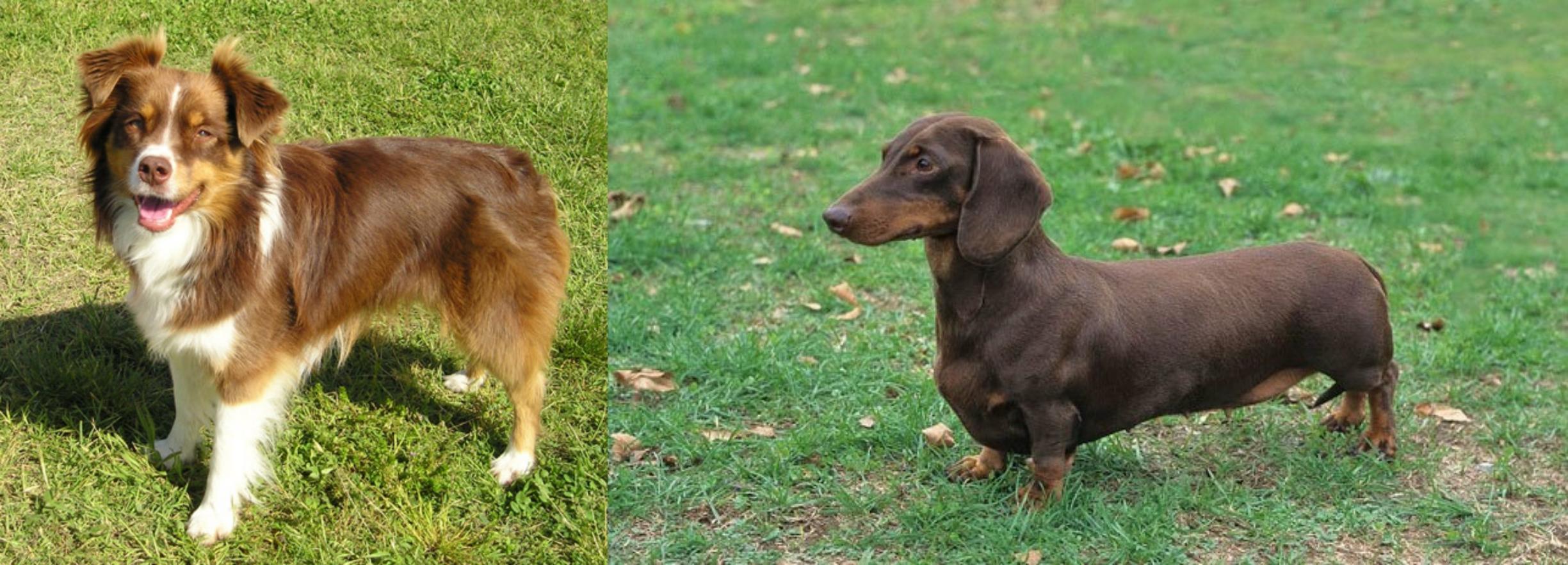 Miniature Australian Shepherd vs Dachshund - Breed Comparison