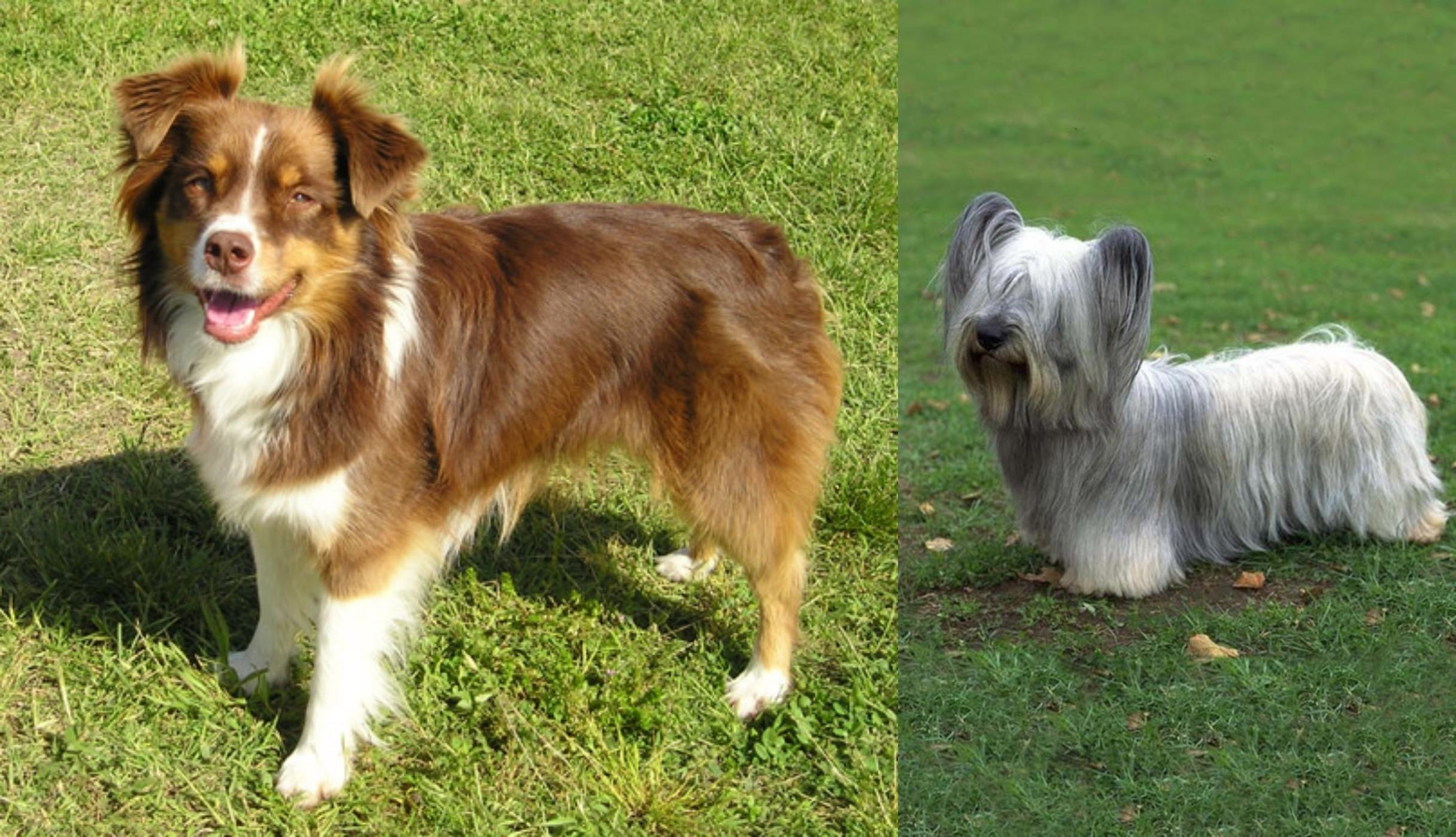 Skye Terrier vs Miniature Australian Shepherd - Breed ...