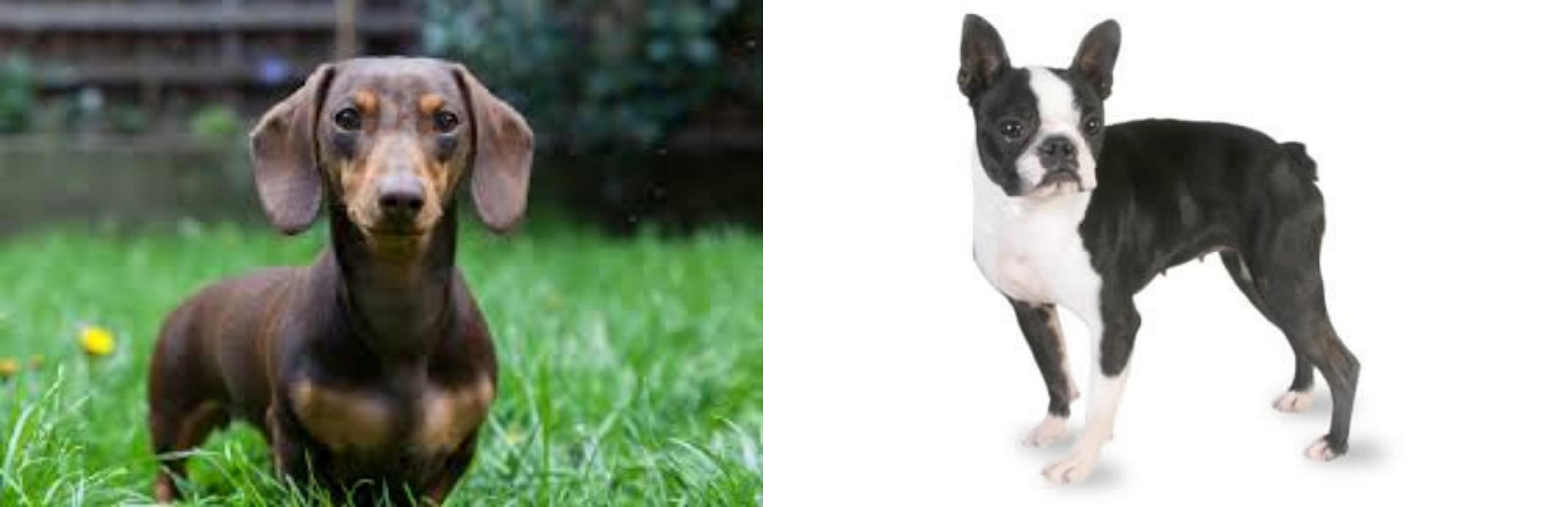 Miniature Dachshund vs Boston Terrier - Breed Comparison