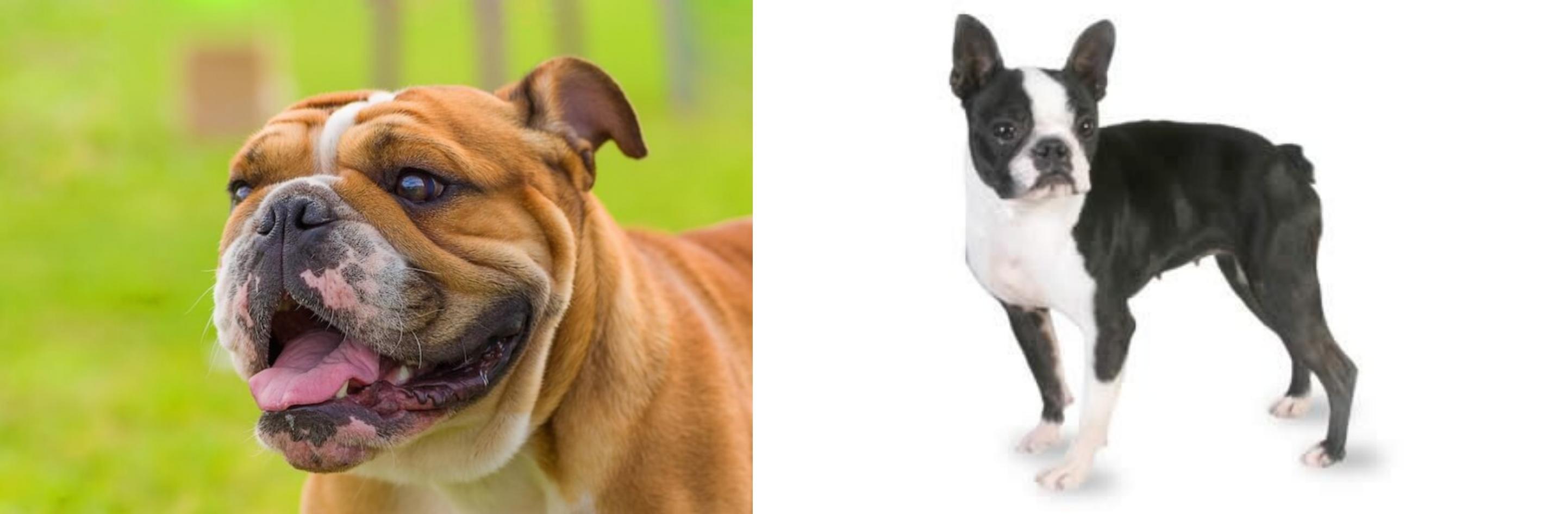 Miniature English Bulldog vs Boston Terrier - Breed Comparison