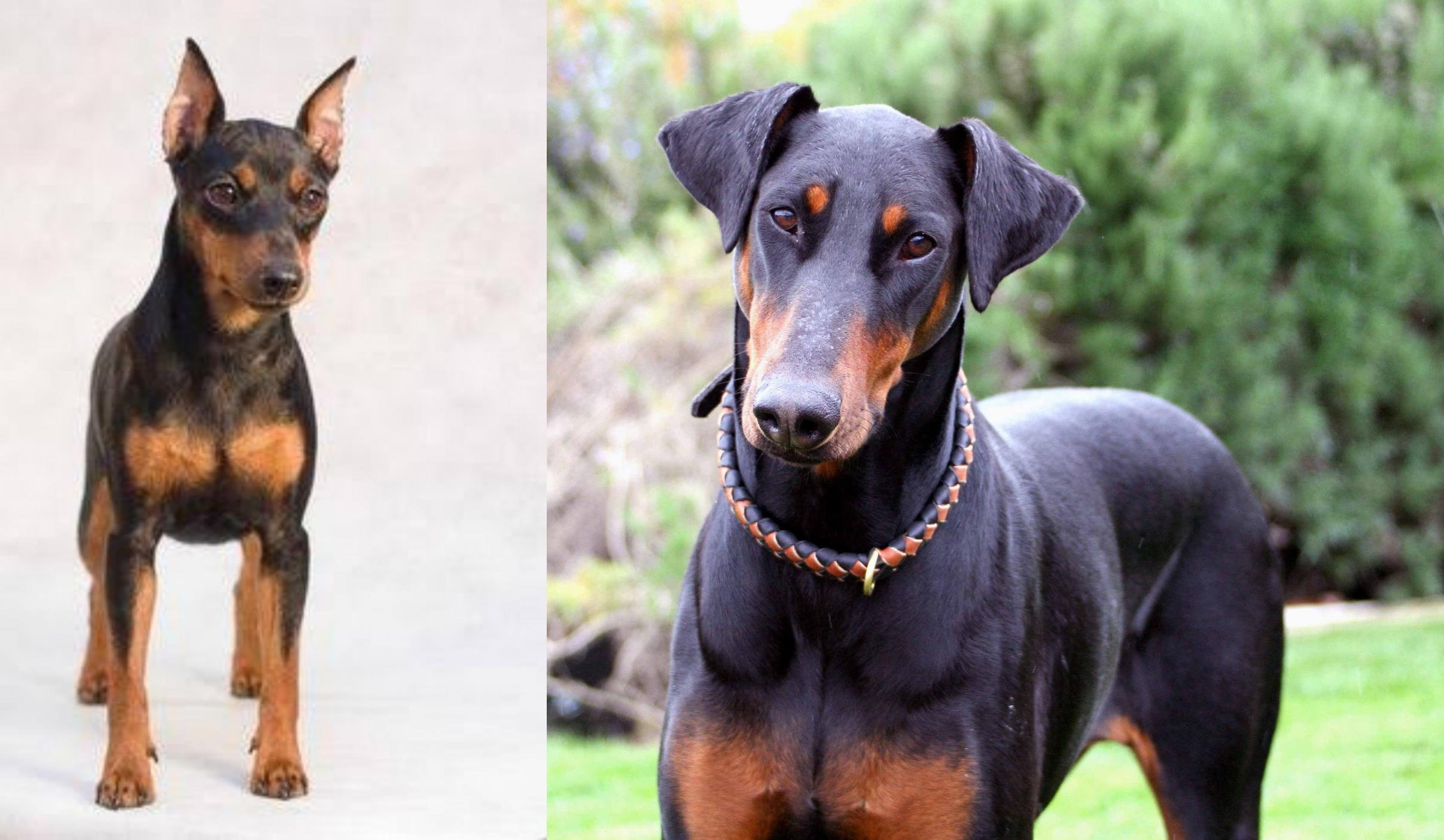 Miniature Pinscher Vs Doberman
