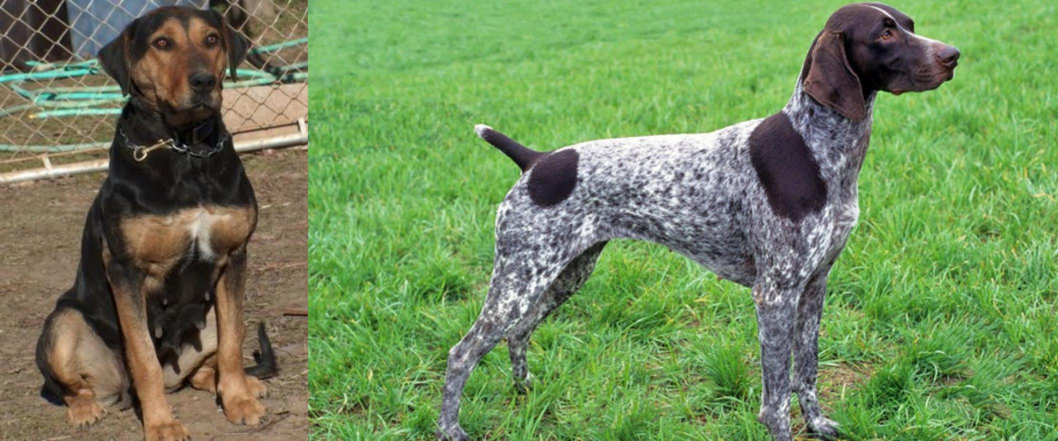 Slovakian Wirehaired Pointer Puppies For Sale – Cute of ...
