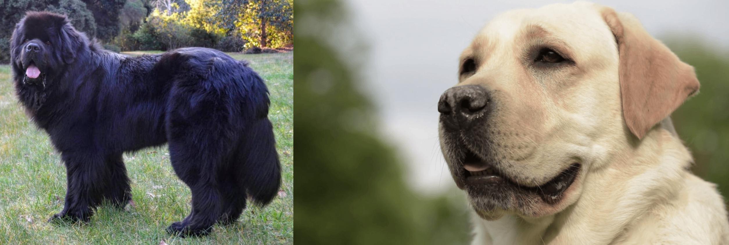 Newfoundland Dog vs Labrador Retriever - Breed Comparison
