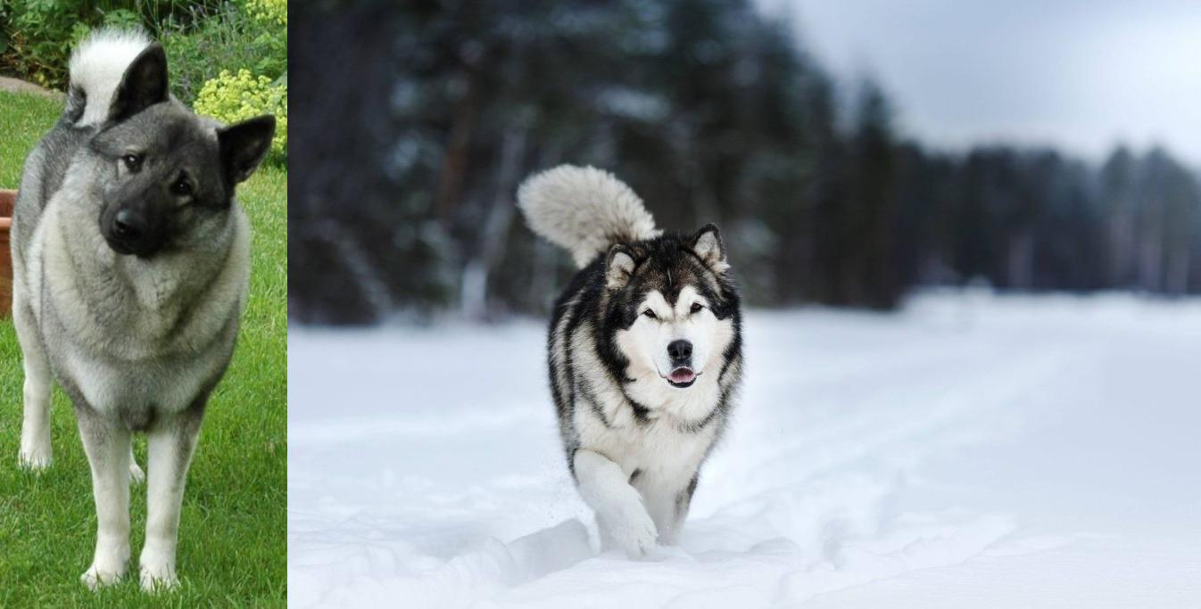 Norwegian Elkhound Vs Siberian Husky