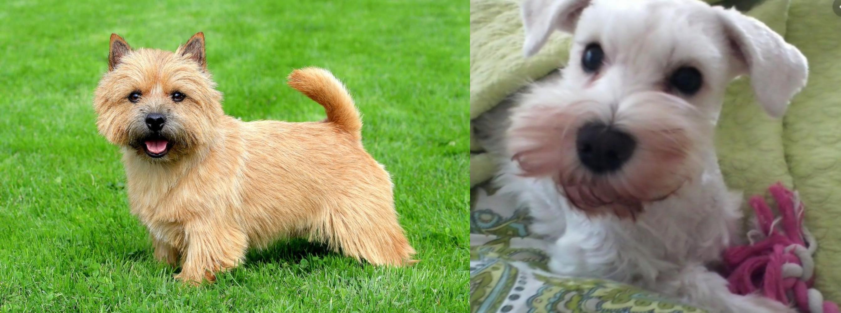 White Schnauzer vs Norwich Terrier - Breed Comparison