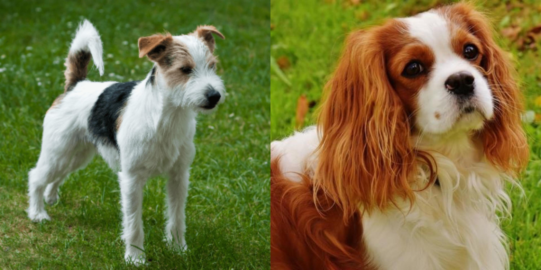 King Russell Terrier Goldenacresdogs Com