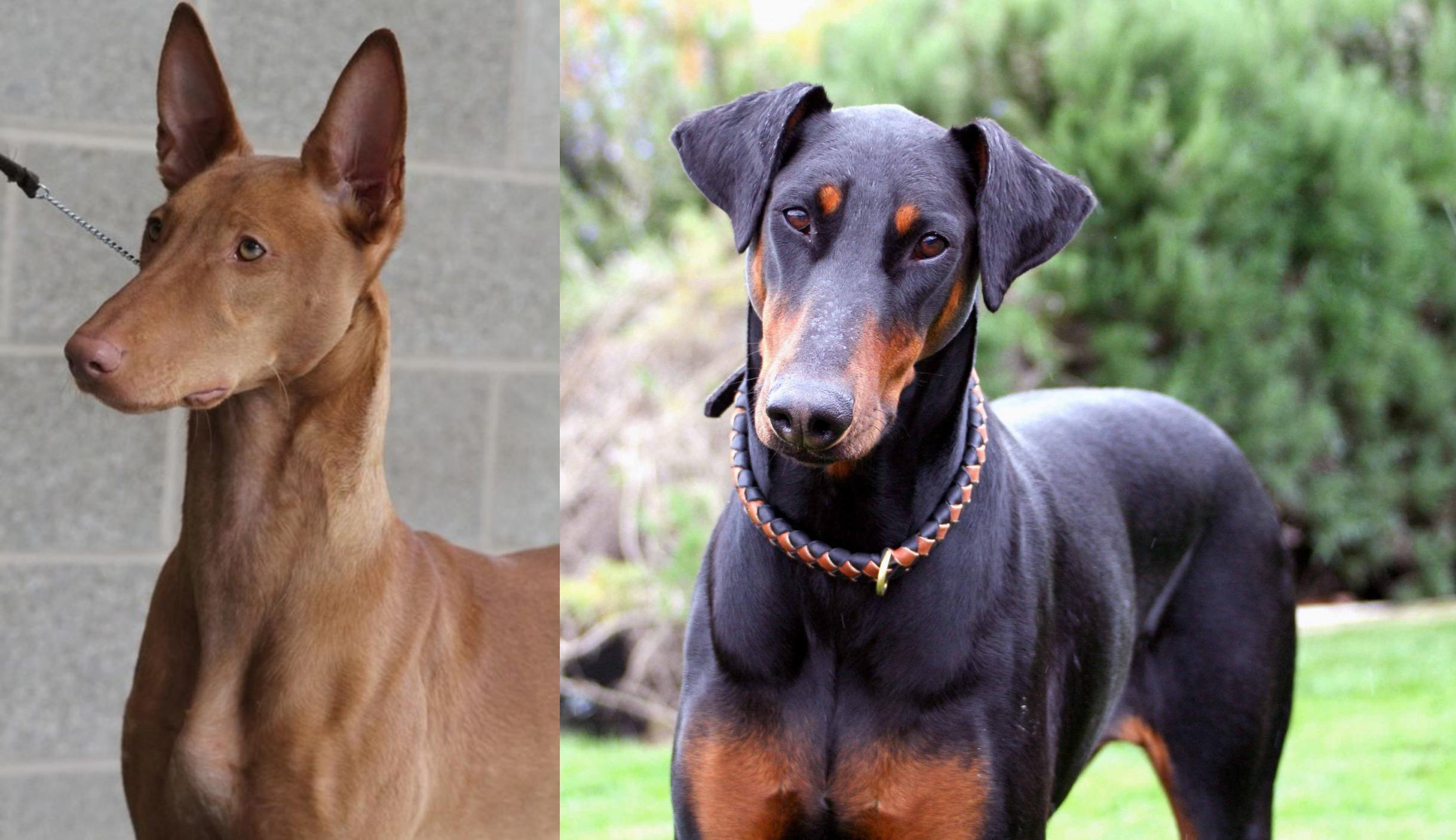 Pharaoh Hound Vs Doberman Pinscher Breed Comparison