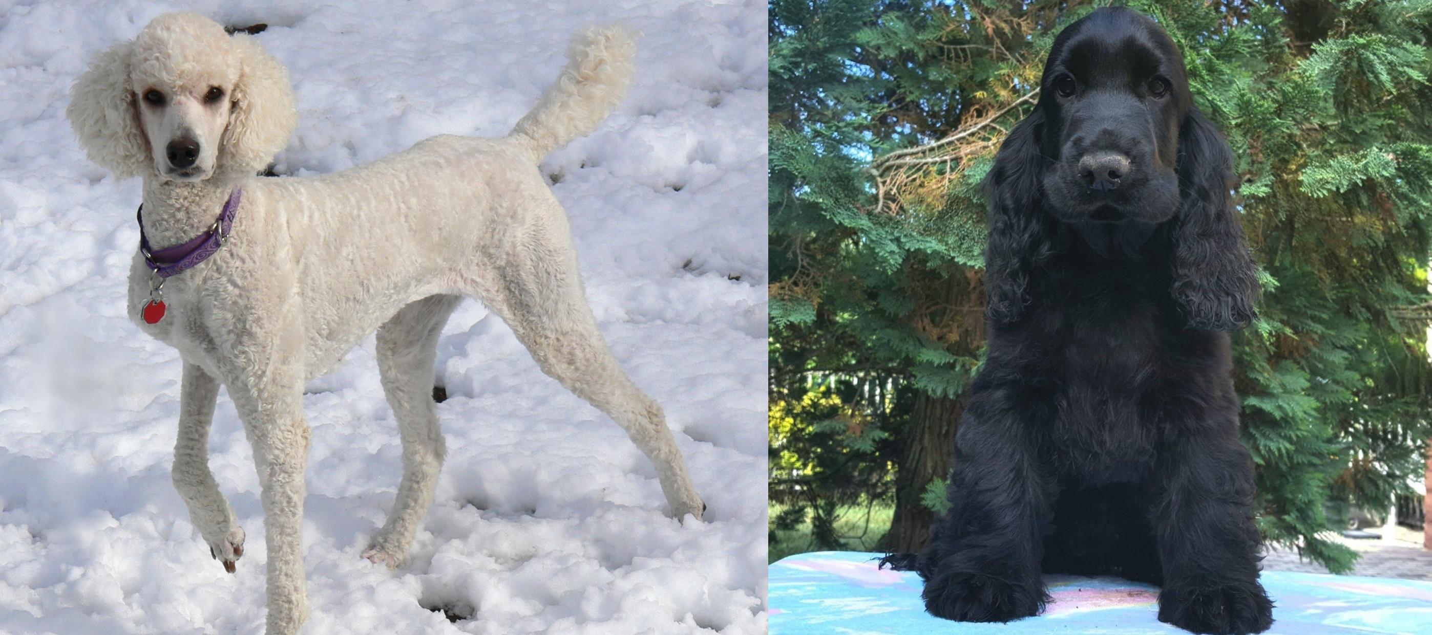 American Cocker Spaniel Vs Poodle - Race Comparison-3416