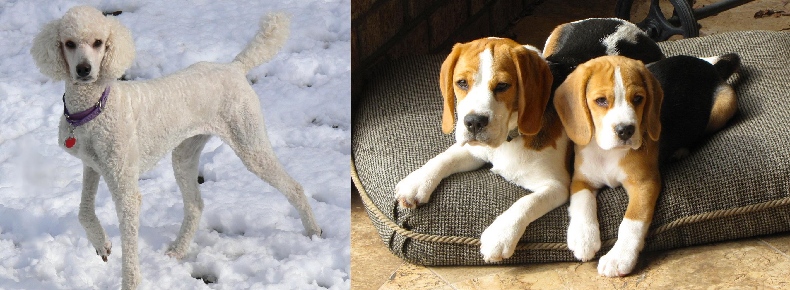 Poodle Vs Beagle Breed Comparison Mydogbreeds