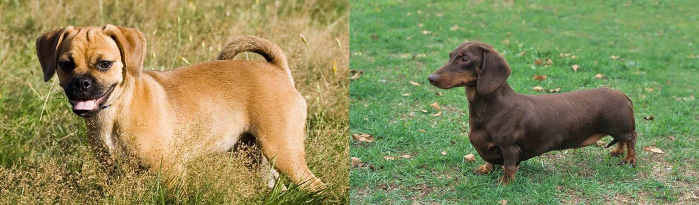 Puggle Vs Dachshund Breed Comparison