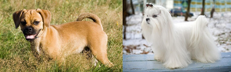 Puggle Vs Maltese Breed Comparison