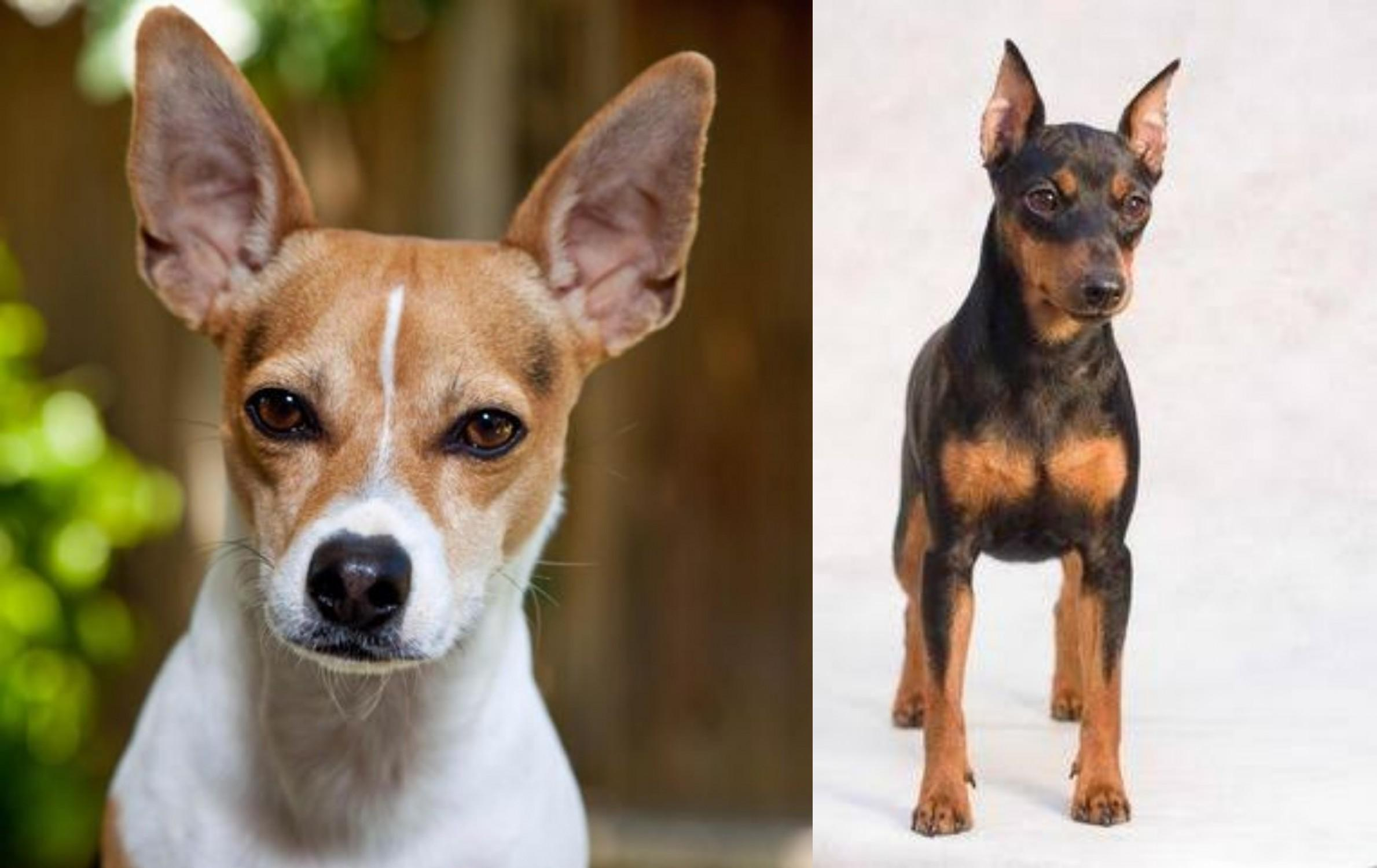 Rat Terrier Vs Miniature Pinscher Breed Comparison