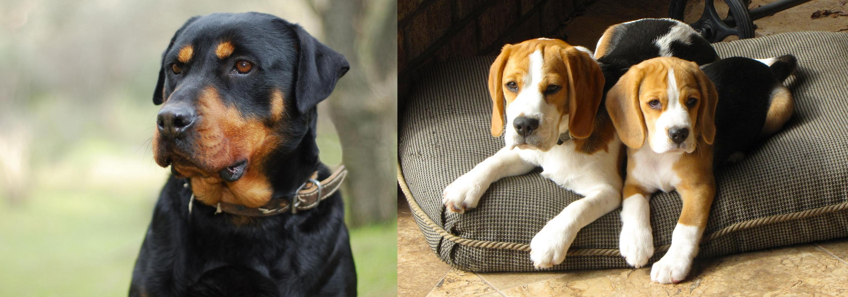 Rottweiler vs Beagle - Breed Comparison | MyDogBreeds