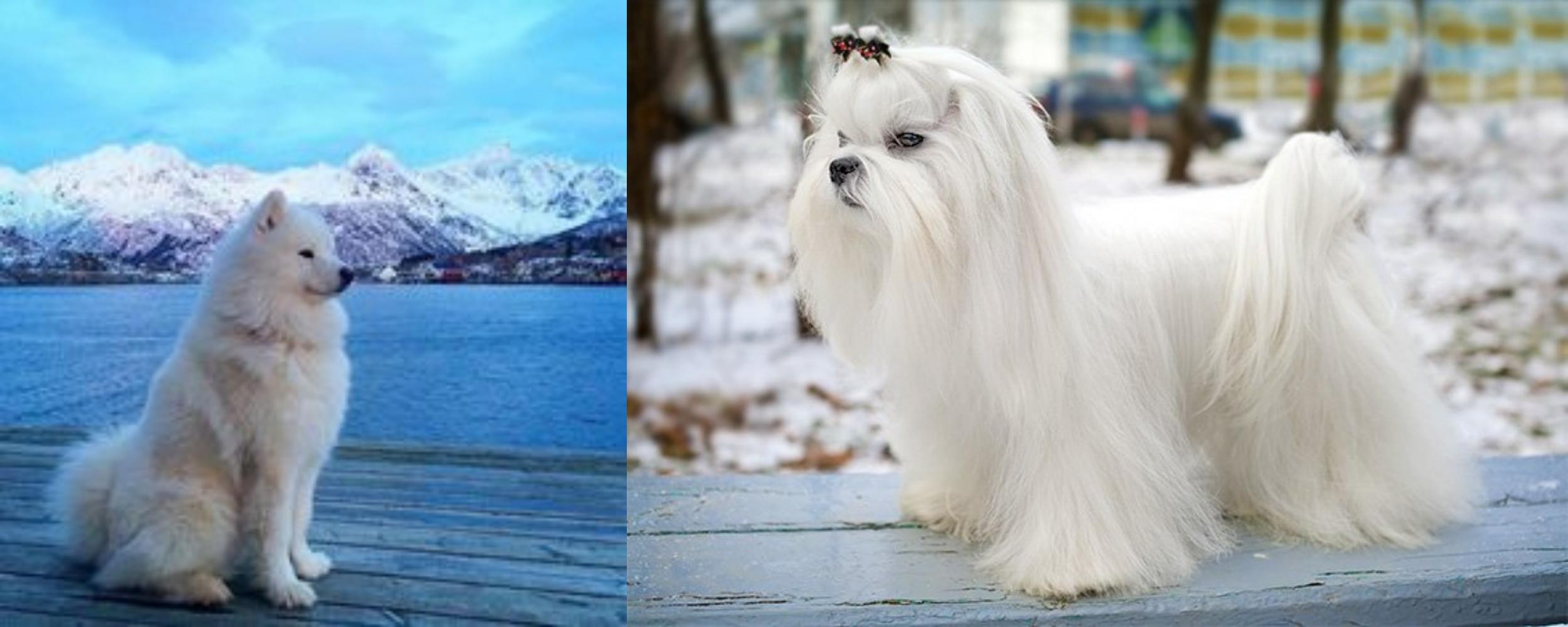 Samoyed Vs Maltese Breed Comparison
