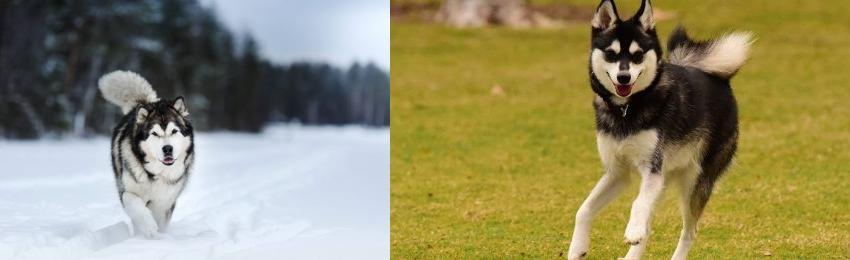 Alaskan Klee Kai Vs Siberian Husky Breed Comparison Mydogbreeds