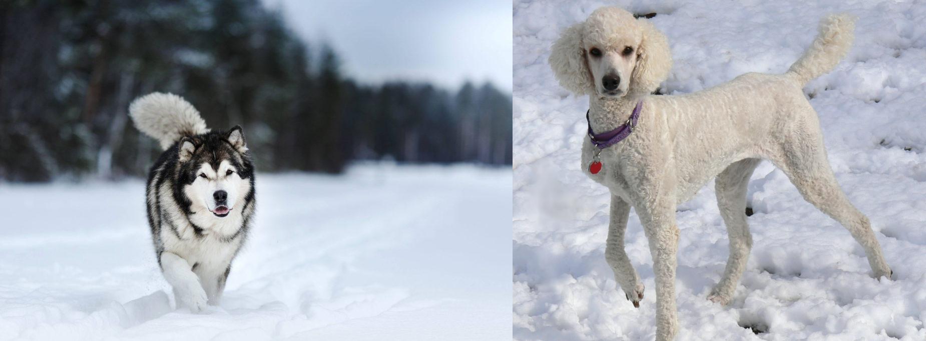 Siberian Husky Vs Poodle Breed Comparison Mydogbreeds